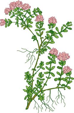 rysunek zioła